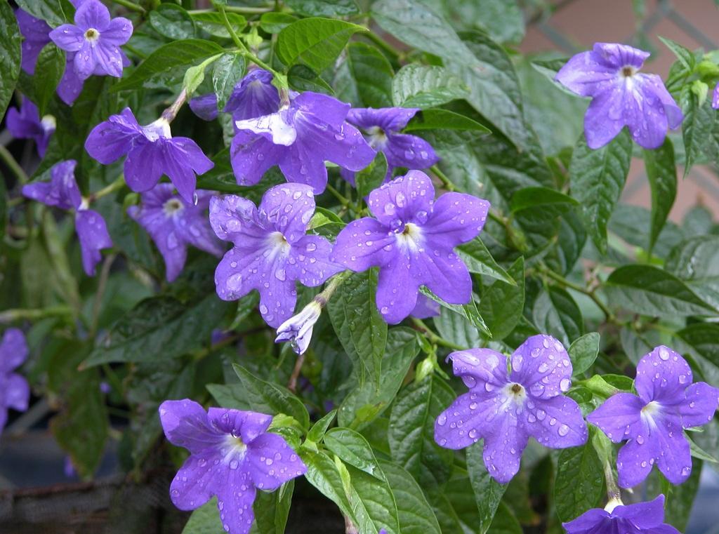 Browallia, Бровалия, отглеждане на бровалия, разтеж на бровалия, размножаване бровалия, произход на провалия, декоративни саксийни цветя бровалия