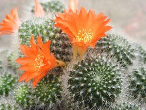 Стайни цветя за Овен - Кактус