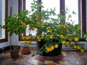 Саксийни цветя за Дева - лимоново дърво