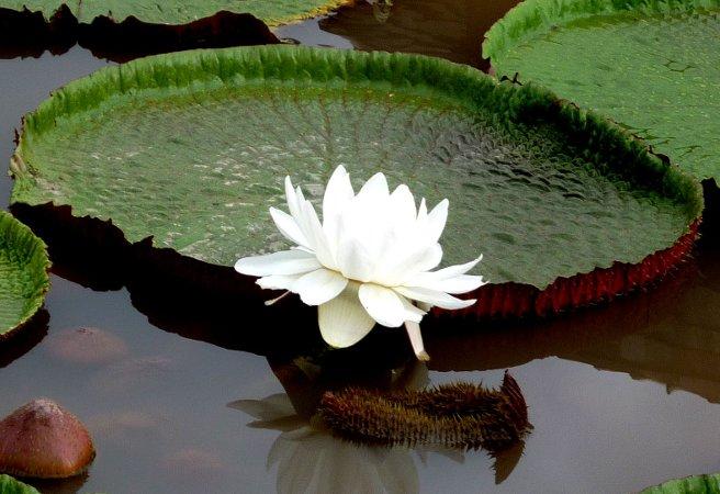 Еухарис или Амазонска лилия