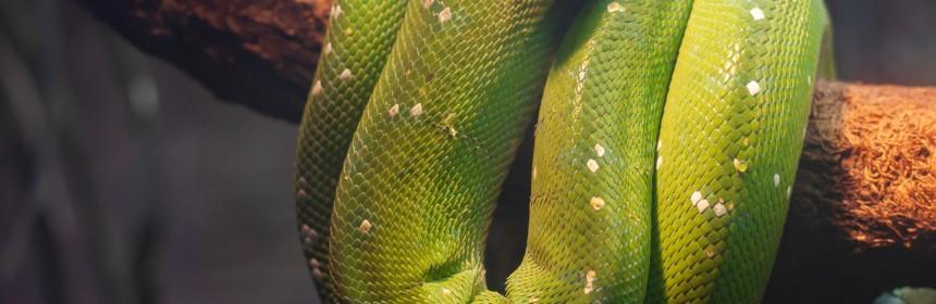 Най-голямата змия в света